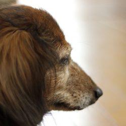 犬にも認知症ってあるの?
