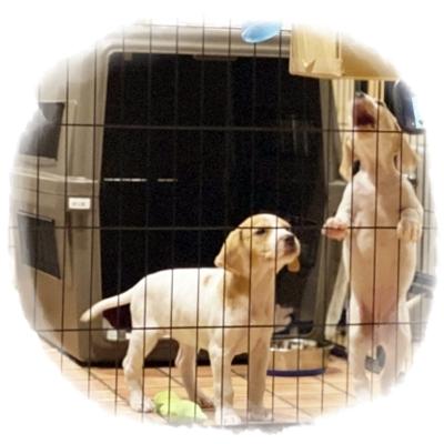 仔犬とケージ